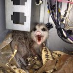 Opossum in HVAC